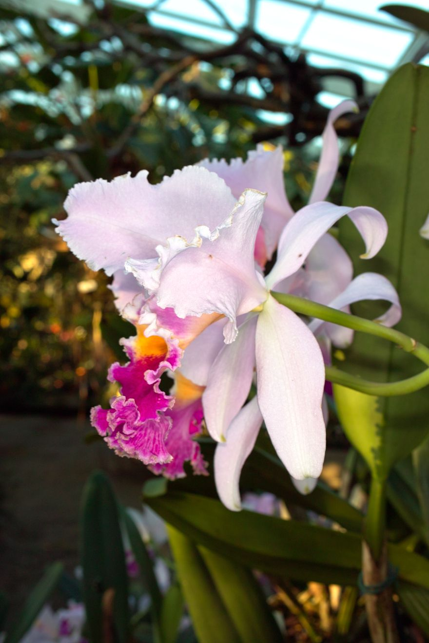 Cattleya-Hybride Veriflora x Intertexta Juliettiae