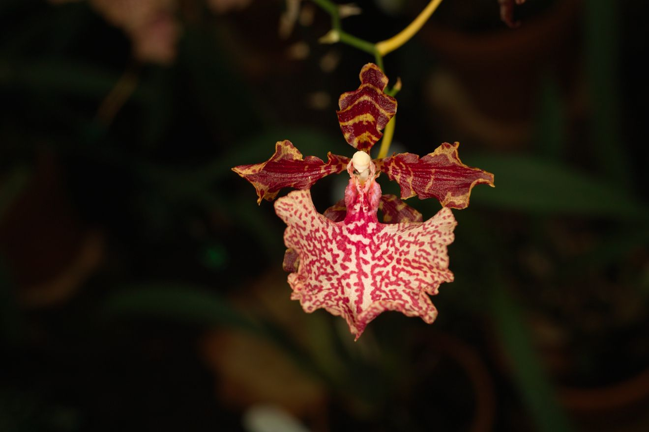 Odontocidium Autum Tints