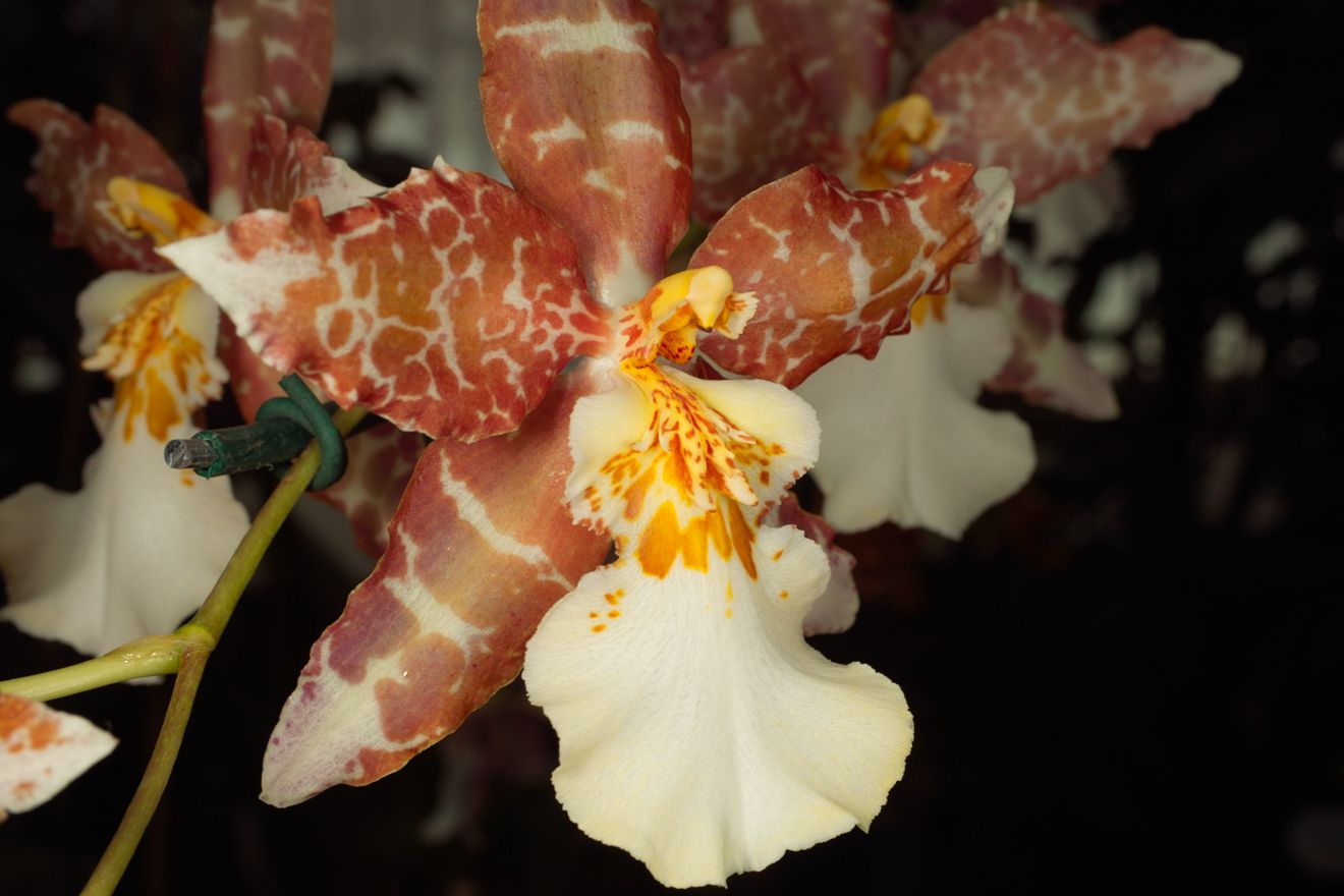Oncidium oliganthum additionally Full Water Culture For Orchids An Experiment in addition Orchids additionally 3575107493 likewise Page71. on oncidium orchid