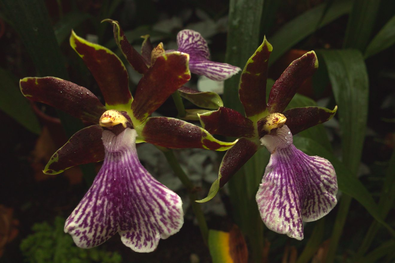 Zygopetalum-Hybride Bright And Blue